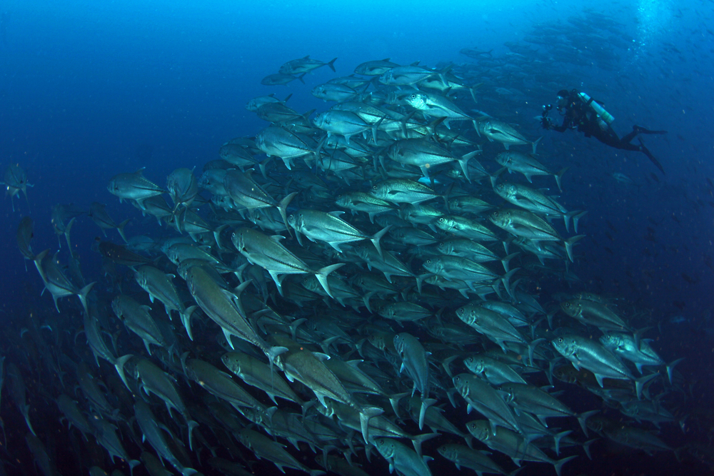 Trevally baitball in Darwin and Wolf in Galapagos Ecuador with a diver