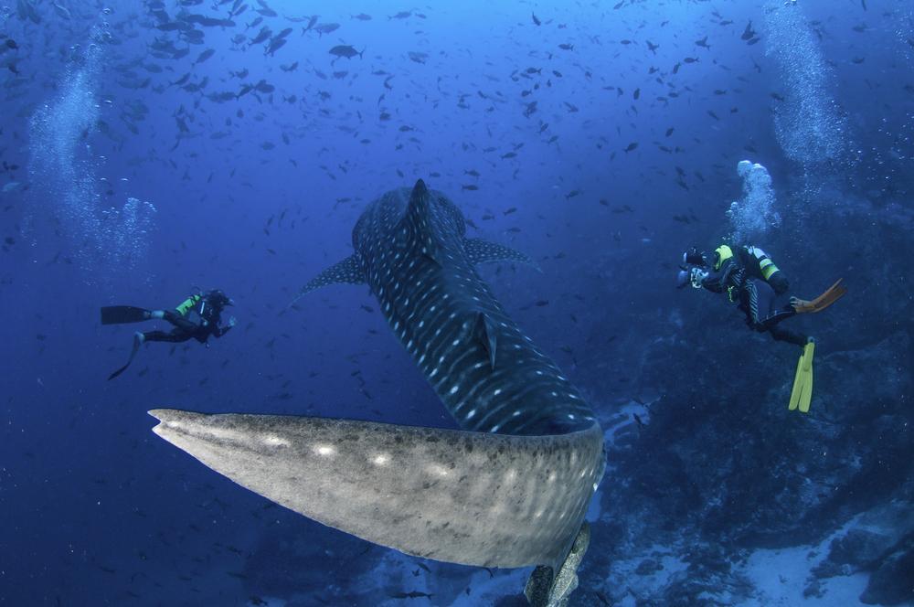 Scuba divers swim alongside a whale shark as it swims by, Cocos Island, Costa Rica.
